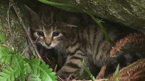 Scottish Wildcat 12