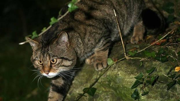 Scottish Wildcat 13