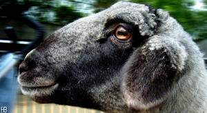 Goat 1 by Rustydesigns