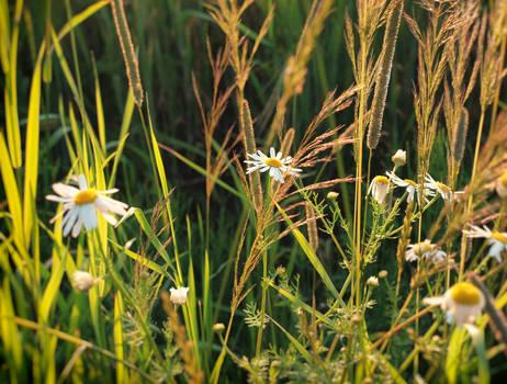 marguerite meadow by jennomat