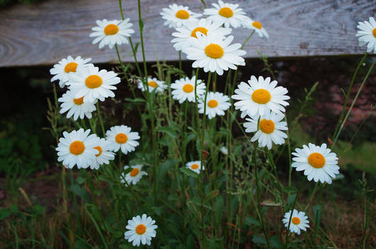 french daisies by jennomat