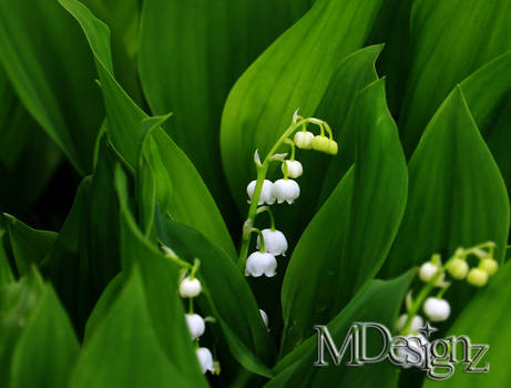 Spring Bells Ring Out The Lily-of-the-Valley