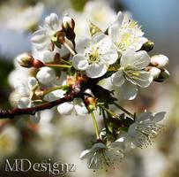 Tart Cherry Tree For My Birds by 33M