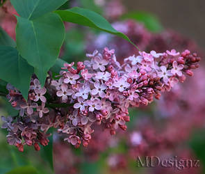 The Delicious Kiss Of Lilacs In Spring by 33M