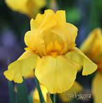 Beautiful Canary Yellow Iris In Junes Garden