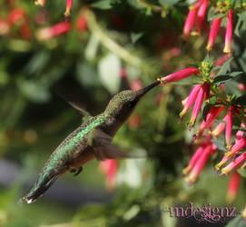 Summertime Fireflies Flowers and Hummingbirds