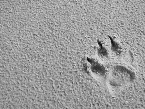Paw in Sand  - greyscale