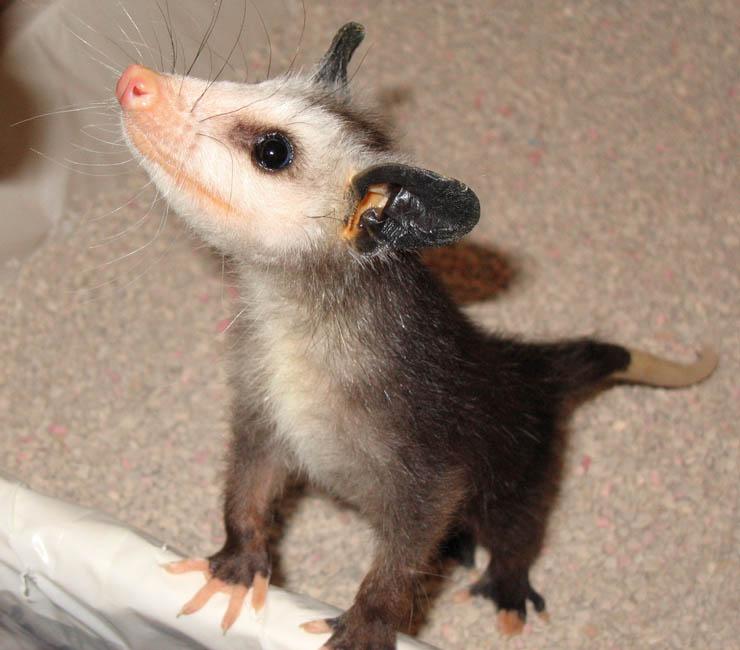 Opossu...er 'Hamster'