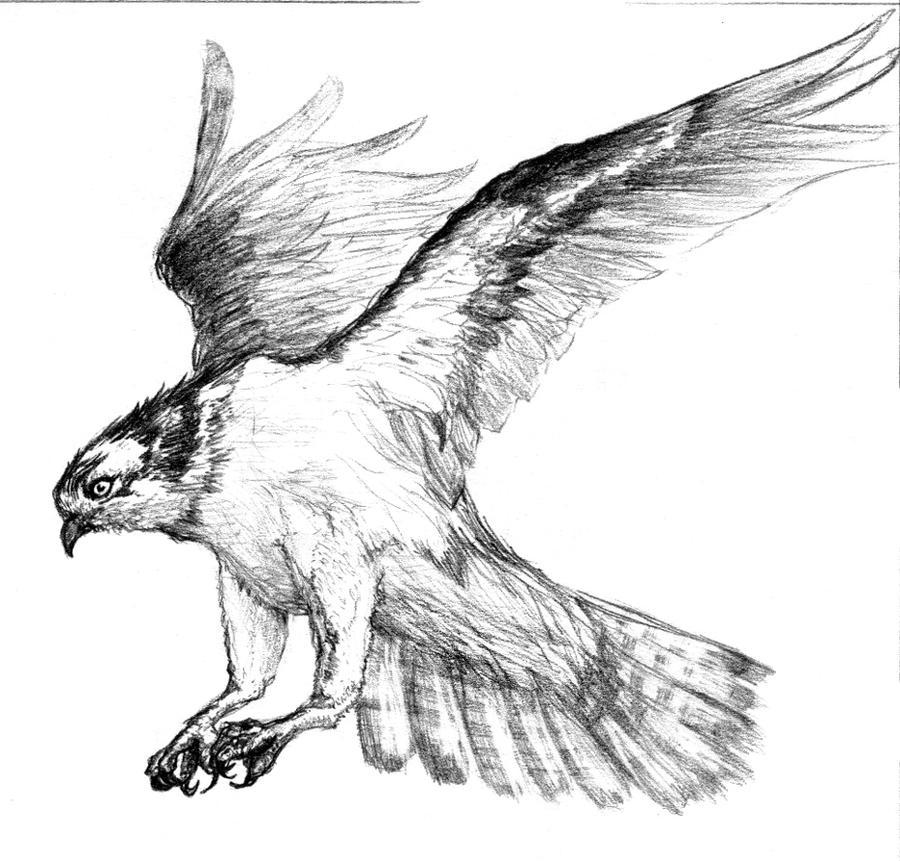 Kite Bird Drawing