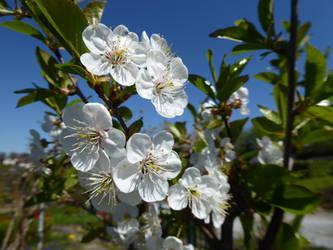 Cherry Blossom by eReSaW