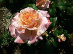 A Rose is perfect in every moment of its existence