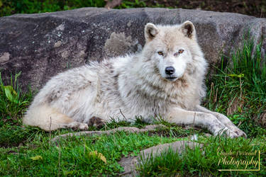 Arctic wolf by ClaudeP-Photography