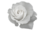 flower-1515378 ianwatts  CUT OUT PaiThan
