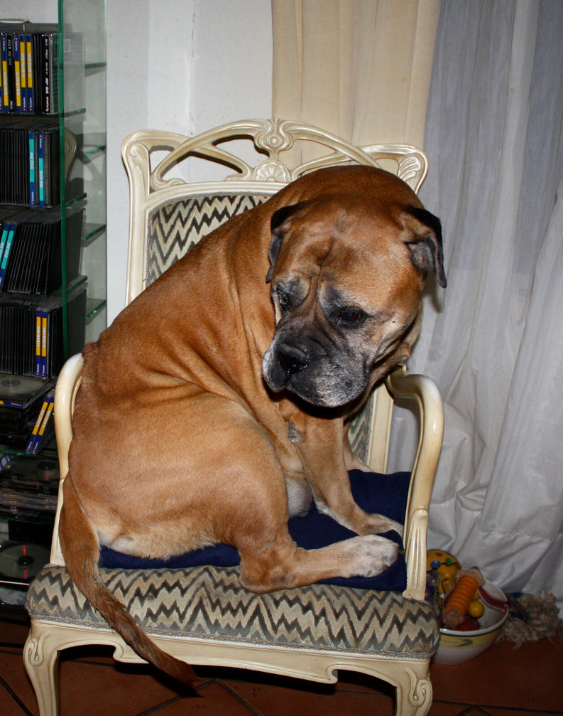 old bullmastiff tries to sit on a chair by schnuffibossi1