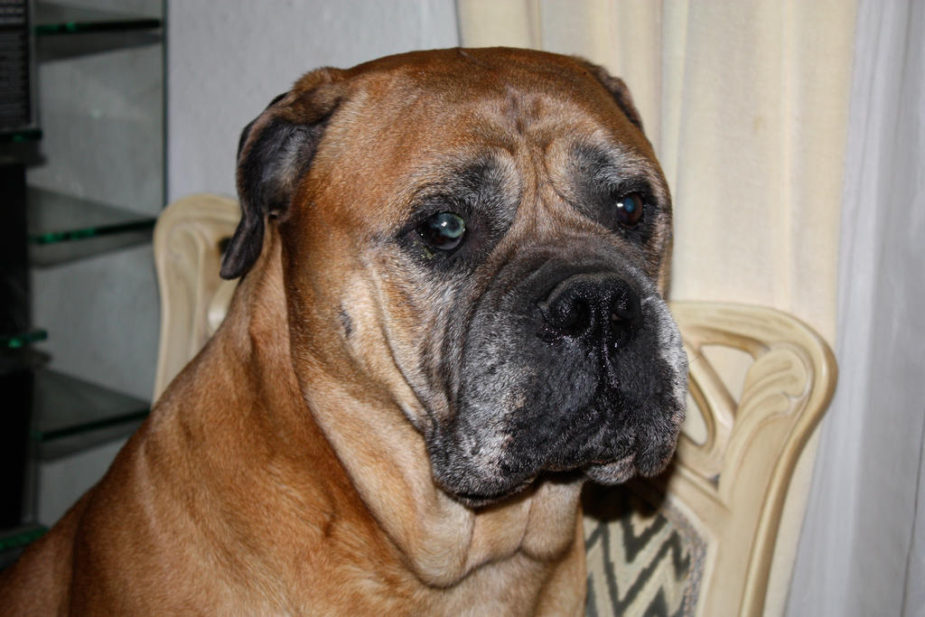 old bullmastiff Jeannie by schnuffibossi1
