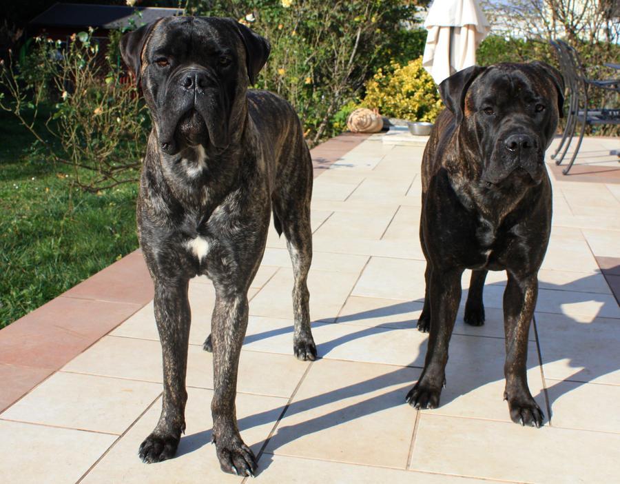Bullmastiff brothers by schnuffibossi1