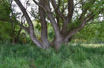karebear-stock tree 2
