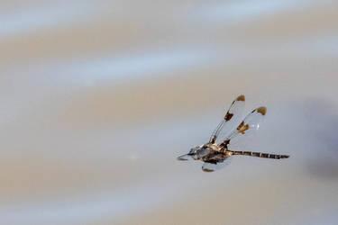 Mosquito Hawk by Sieran02