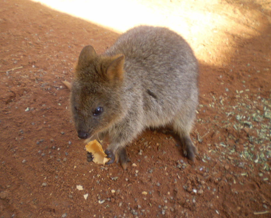 Quokka feeding time! by I-Have-A-Jar-Of-Dirt