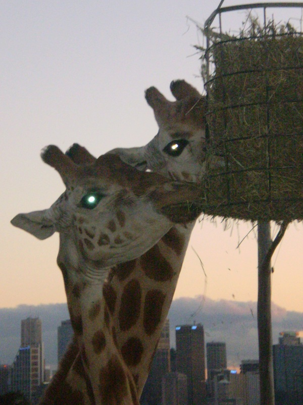 Giraffes at Dusk! by I-Have-A-Jar-Of-Dirt