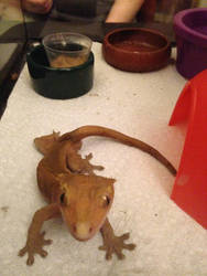 Crested Gecko by wolflver280