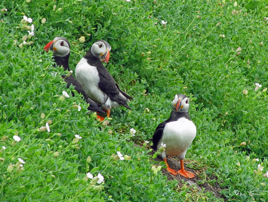 Puffins in Ireland by vseger