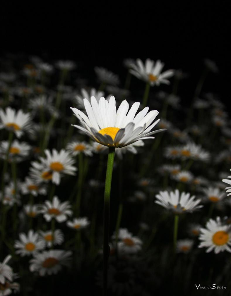 Daisy Rising by vseger