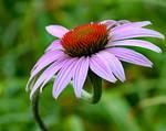 Echinacea - Winding Up