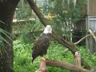 Lowry Park Zoo Bald Eagle by OctoRed77x
