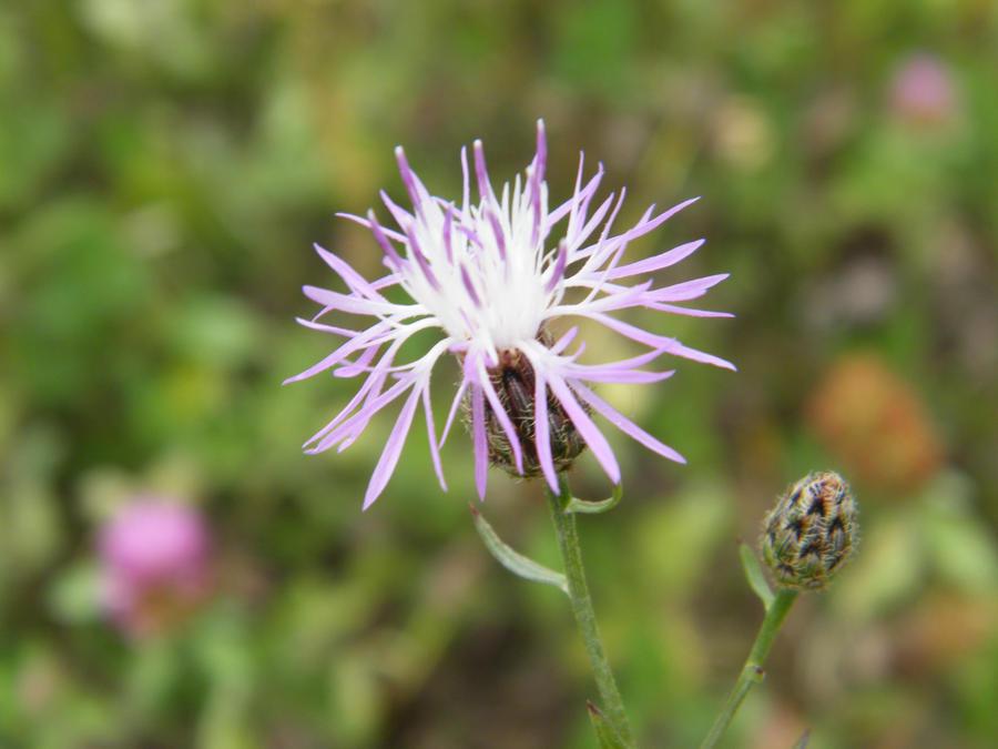 Centaurea Maculosa by kbcollins