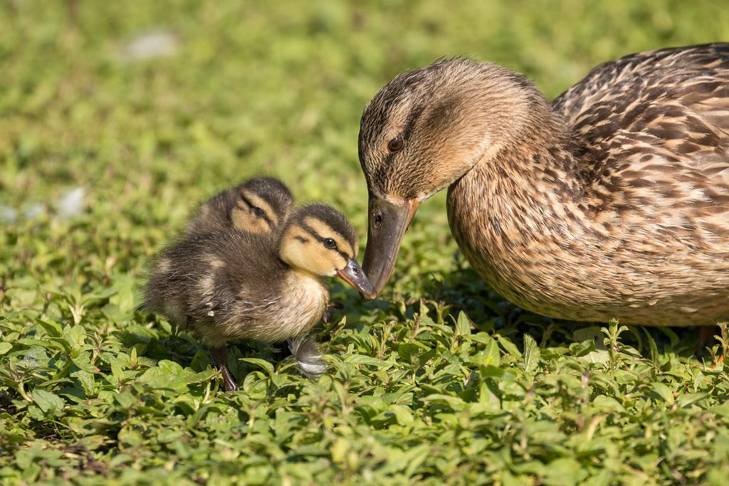 duck family by ArkanumTenebrae