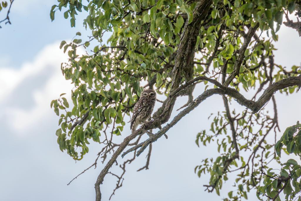 little owl by ArkanumTenebrae