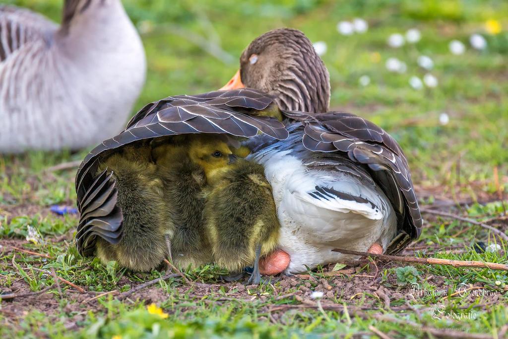 Goose Family by ArkanumTenebrae