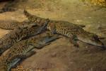 Cuban Crocodile 1