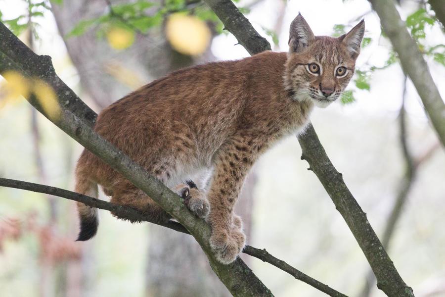Lynx Cub in Tree 2 by JRL5