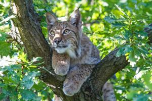 Treetop Lynx 2 by JRL5