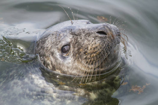 Young Baltic Grey Seal 1