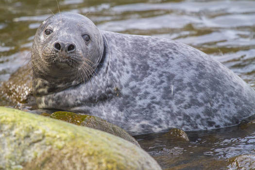 Young Baltic Grey Seal 2