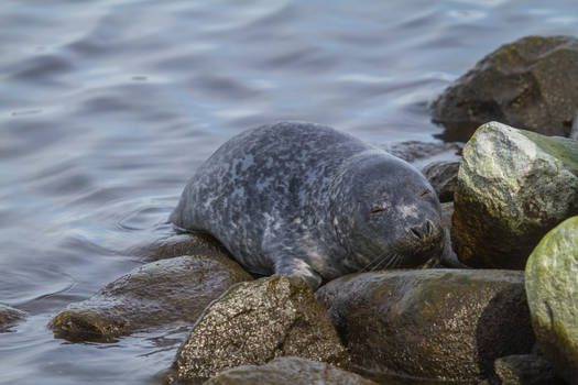 Young Baltic Grey Seal 3