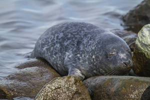 Young Baltic Grey Seal 4