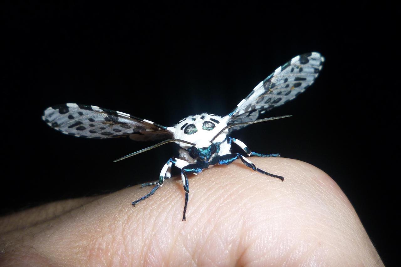 Great Leopard Moth - Summer by BlackHoleInAJar