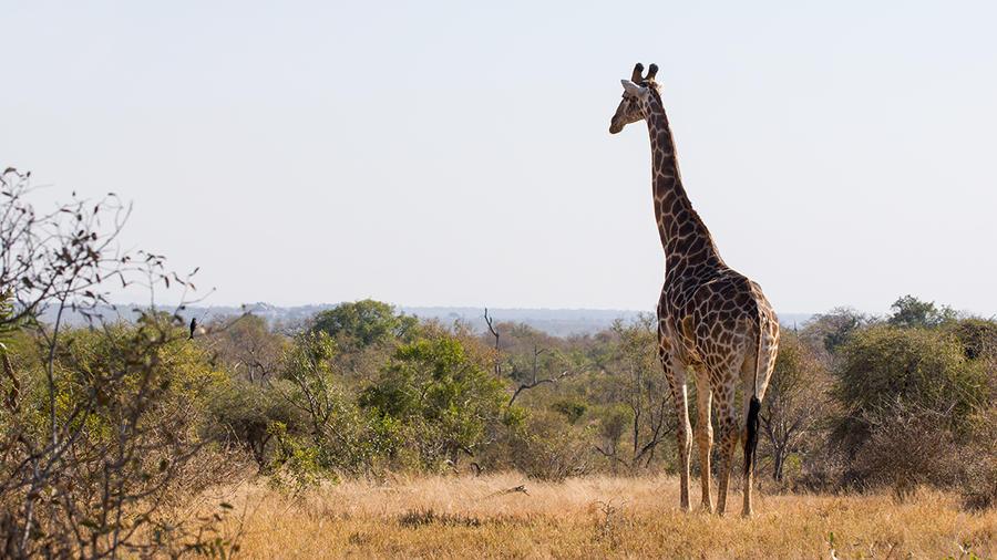 Giraffe by PasoLibre