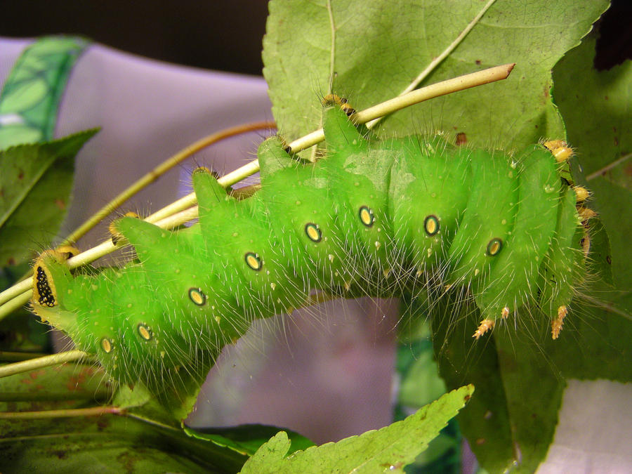 I'm going to attempt to raise 412 Luna Moth Caterpillars