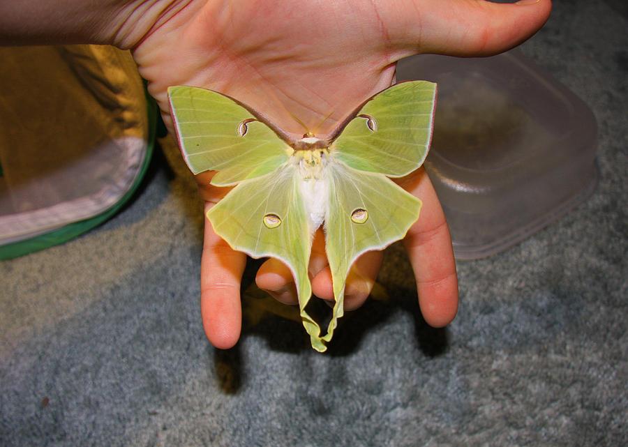 Im Going To Attempt To Raise 412 Luna Moth Caterpillars