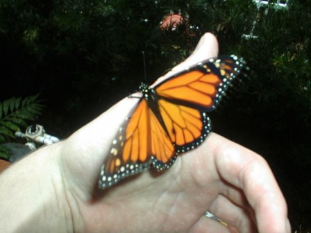 Monarch butterfly by postal-crazylegs