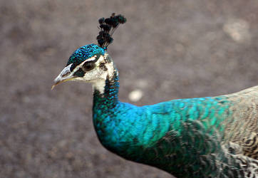 Peahen Portrait by Ravenari