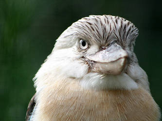 Kookaburra Portrait by Ravenari