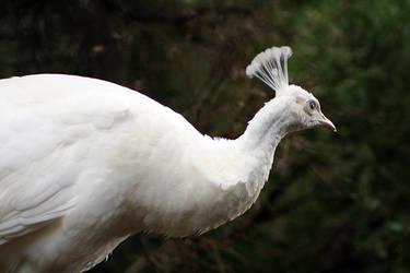 White Peacock Portrait by Ravenari