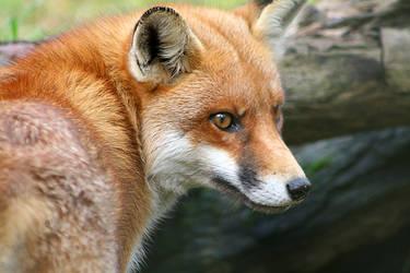 Red Fox 01 by Ravenari