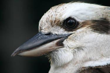Kookaburra Portrait 2 by Ravenari